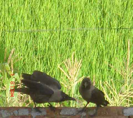 Crows in Deep conversation