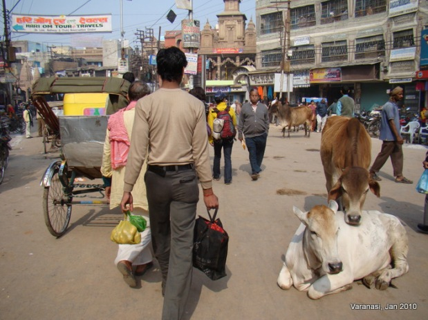 Cows roaming free in the streets of Varanasi