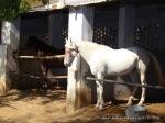 Jaipur Literature Festival, Jaipur, Horses