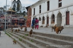 Many monkeys in Pashupatinath